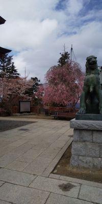 神社しだれ桜
